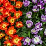 Tulips in the Keukenhof garden Royalty Free Stock Photography