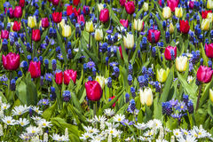 Tulips in Keukenhof Stock Photography