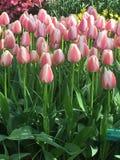 Colorful tulips at keukenhof park, Netherlands