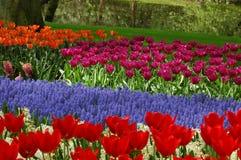 Tulips in Keukenhof stock photos