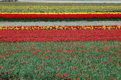 Tulips in Keukenhof Royalty Free Stock Photos