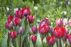 Tulips in Keukenhof, Netherlands Royalty Free Stock Images