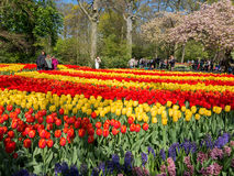 Tulips in Keukenhof, Netherlands Royalty Free Stock Photography