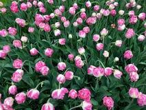 Tulips in Keukenhof royalty free stock photo
