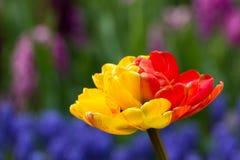 Tulips in Keukenhof park stock photos