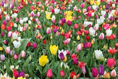 Tulips in the Keukenhof Royalty Free Stock Images