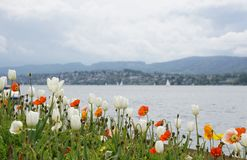 Tulips by the lake in Zurich. Switzerland Stock Images