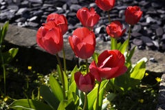 Tulips in a Lancashire Garden Royalty Free Stock Photography