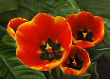 Tulips - latin name Tulipa. Beautiful red and yellow tulips open in the sun Stock Images