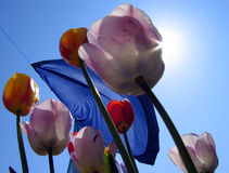 Tulips and laundry. View from the ground of tulips with a blowing bed sheet on washing line royalty free stock images