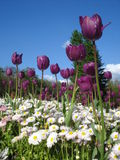 Tulips and lawn daisies on blue sky. Purple tulips and white common daisies in flowerbed Stock Images