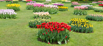 Tulips on the lawn Royalty Free Stock Images
