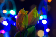 Tulips. A tulips on light background Royalty Free Stock Photography