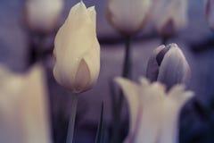 Tulips on the light Stock Photos