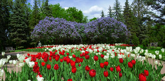 Tulips and lilacs Stock Photography