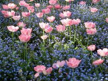 Tulips among little blue flowers Royalty Free Stock Image