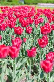 The tulips Royalty Free Stock Photos