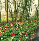 Tulips. A lovely park in one of the cosy small towns of Germany. Beautiful tulips grow in lines Royalty Free Stock Image
