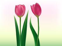Tulips lover. Clip-art of dark pink tulips flower with green leaves Stock Photos