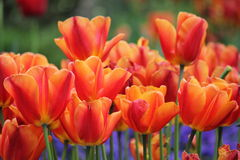 Tulips in Lucerne Stock Image
