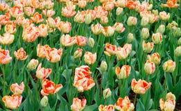 Tulips macios da cor do pêssego da nata no jardim. Foto de Stock Royalty Free