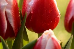 Tulips macro. A macro shot of water droplets on tulip petals Stock Photography