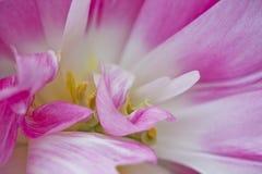 Tulips macro. Close up of a pink tulip Royalty Free Stock Photos