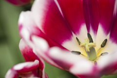 Tulips macro. Close up of a red tulip Stock Image