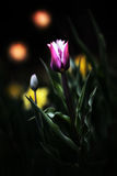 Tulips in a Magic Night Garden - Abstract Art Stock Image