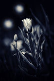 Tulips in a Magic Night Garden - Toned Stock Photography