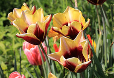 Tulips Stock Photo
