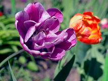 Tulips in the May sun. Royalty Free Stock Photo