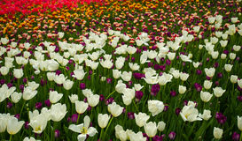 Tulips in a maze of  vivid color Stock Images