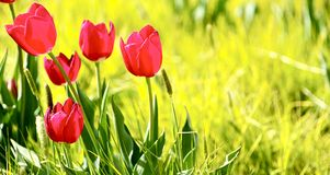 Tulips Meadow. Spring Meadow with Red Tulips. Panoramic Photo Royalty Free Stock Images