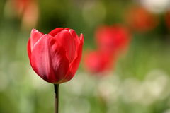 Tulips on a meadow Royalty Free Stock Photo