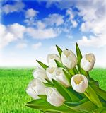 tulips on meadow background Stock Photography