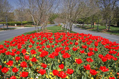 Tulips in the Median by the Street Royalty Free Stock Photos