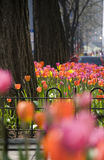 Tulips on Michigan Avenue Royalty Free Stock Image
