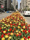 Tulips On Michigan Avenue Stock Photos