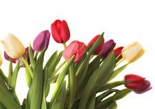 Tulips mim Fotografia de Stock Royalty Free