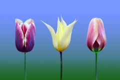 Tulips of the miscellaneous of the sort and colour. On blue , green background stock images
