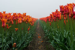 Tulips in the mist Royalty Free Stock Images