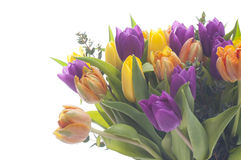 Tulips. Mixed color tulips on white background stock photo