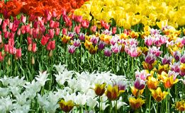 Tulips in mixed colors Stock Photography