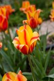 Tulips in Monet`s Garden at Giverny, France stock photos