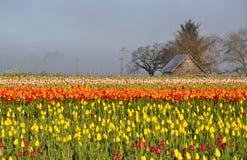 Tulips morning landscape Stock Image
