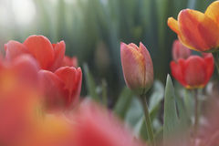 Tulips in the morning light. Pink, red and yellow tulips in the morning light Royalty Free Stock Images