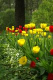 Tulips in Moscow Stock Photos