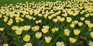 Tulips in Moscow royalty free stock photography