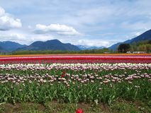 Tulips and Mountains Royalty Free Stock Photos